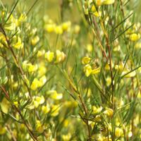 Wild flowering rooibos